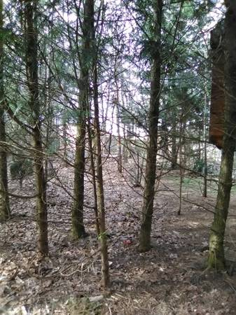Photo FREE Pine Trees and Spruce for BonFires, FirePits, Rustic Furniture (40 min west of winchester in Slanesville WV 25444)