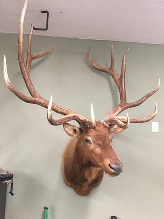 Photo Elk mount - $800 (Ashby)