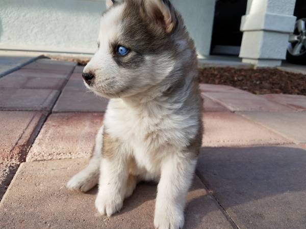 Adorable Fluffy Siberian Husky Pups 1 Yuma General Items